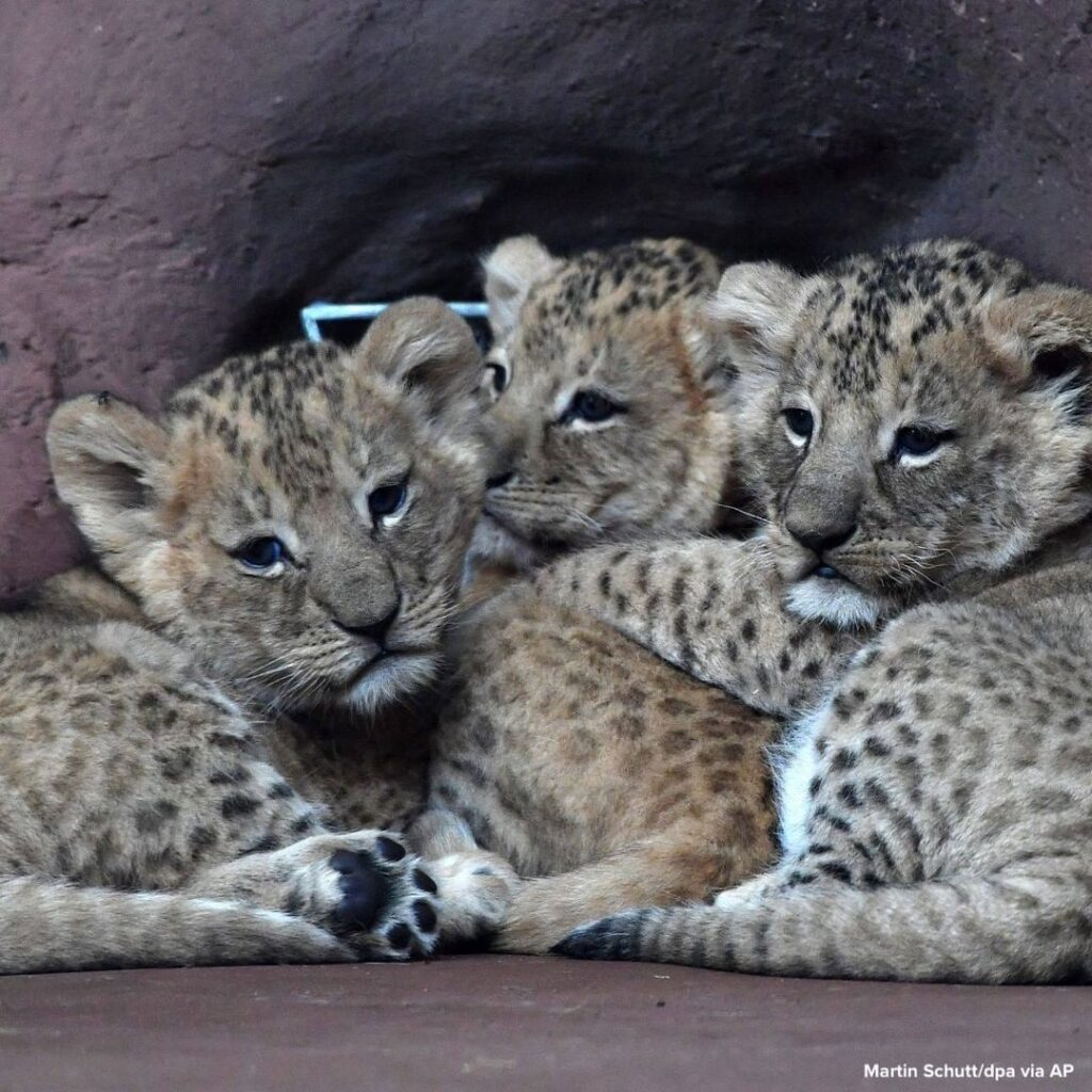 Three lion cubs huddle in the lion savannah in the Thuringian zoo park Erfurt, G...