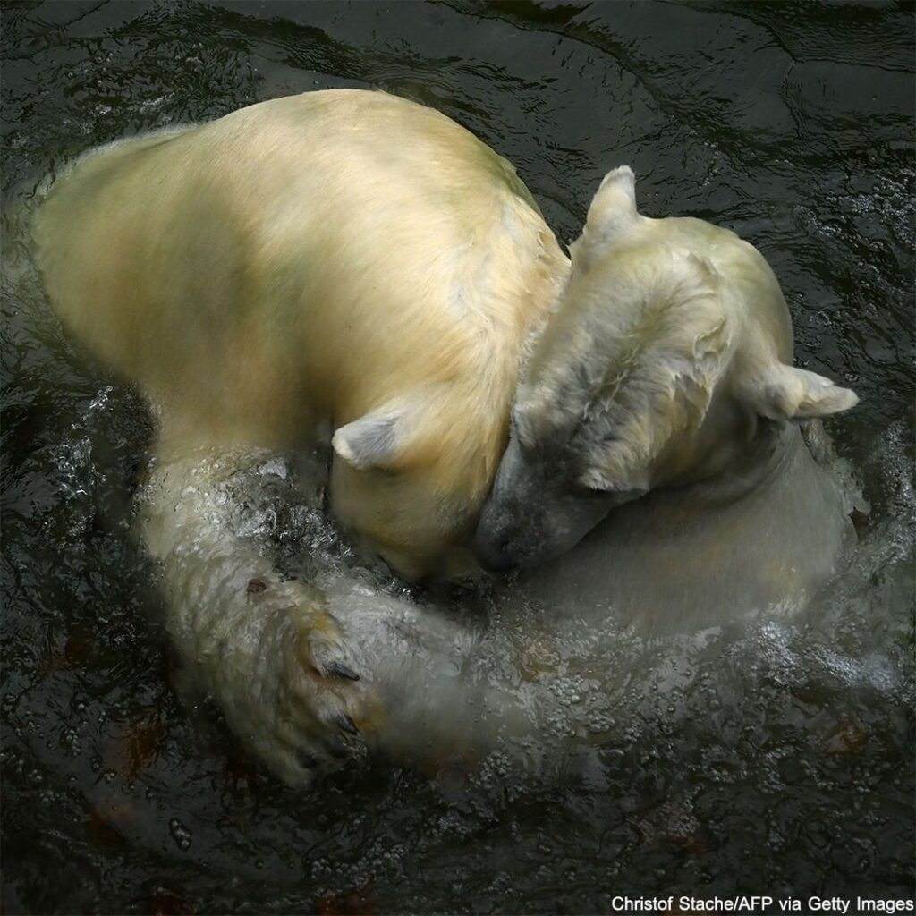 Polar bears Nanook and Nuna play together in their enclosure at the Hellabrunn z...