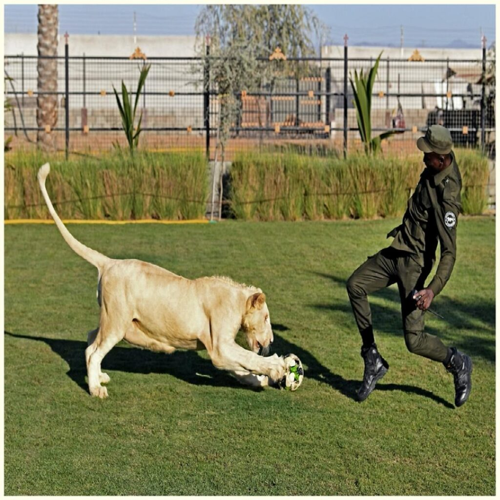 A trainer plays ball with a white lion at the AlBuqaish private zoo in the Emira...