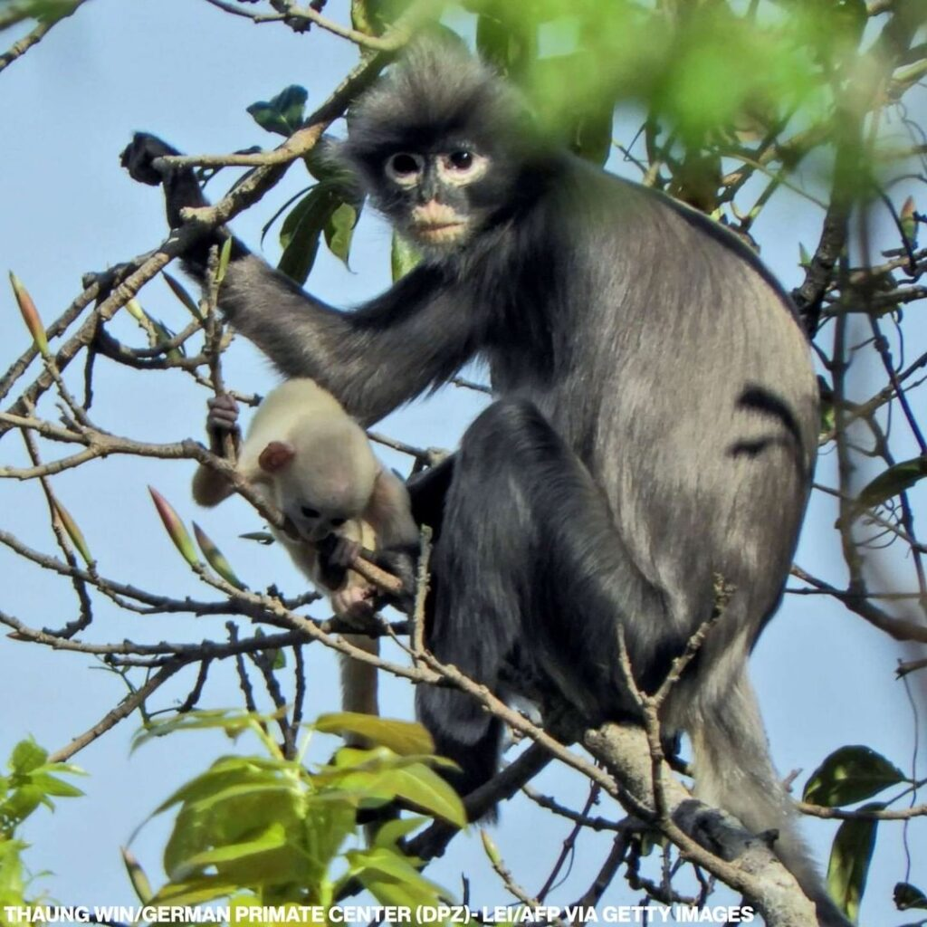 Scientists say they've identified a new species of monkeys in Southeast Asia: In...