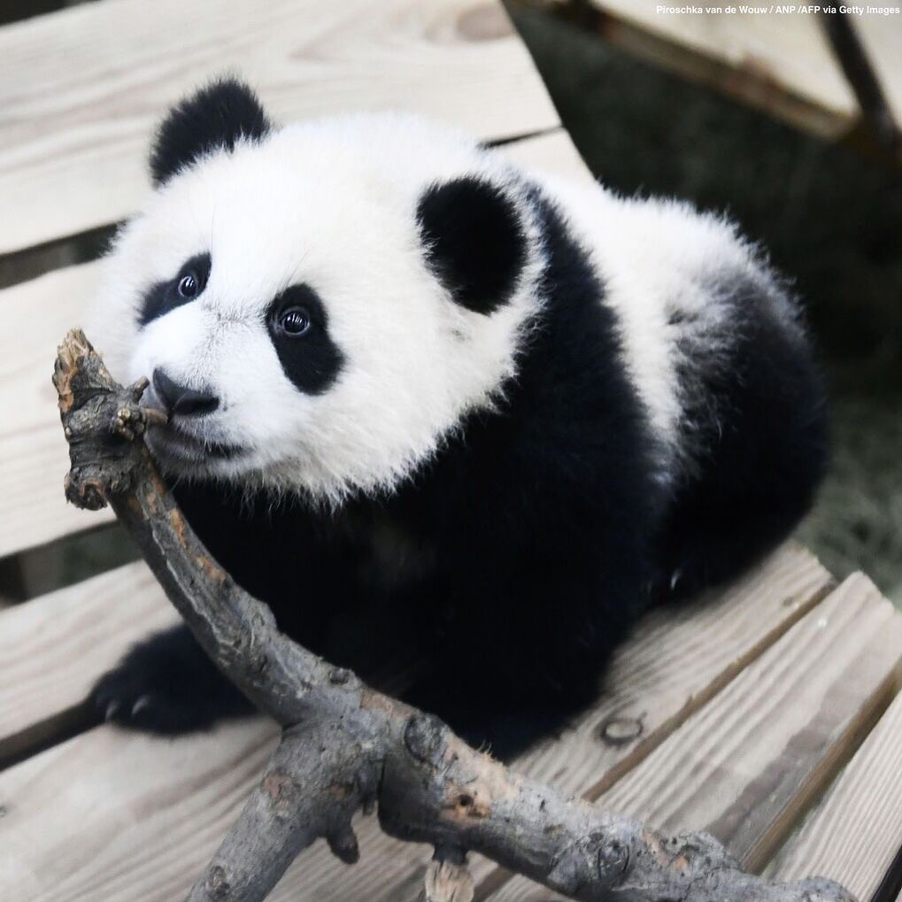 An adorable baby panda is seen enjoying his indoor enclosure at the Ouwehands Zo...